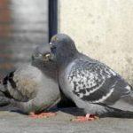 甘く、優しい心に隙入り、迷惑をかけるハトに要注意!