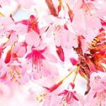 桜の花の季節に想うこと。