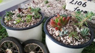 【多肉植物】育て方も分からず取り掛かる箱庭作り。No.4