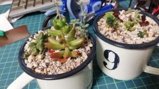 【多肉植物】育て方も分からず取り掛かる箱庭作り。No.5