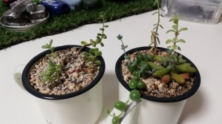 【多肉植物】育て方も分からず取り掛かる箱庭作り。No.7